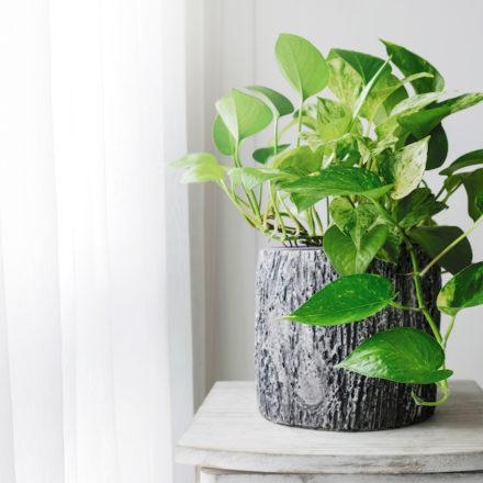 Devils-Ivy-Indoor-Plant