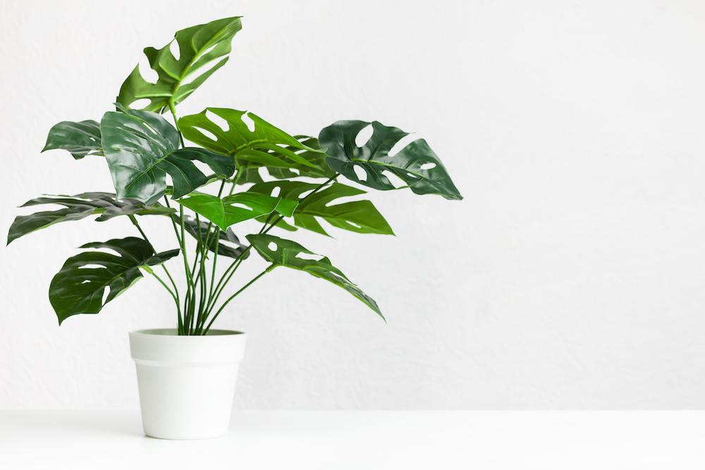 Monstera-Deliciosa-Indoor-Plant